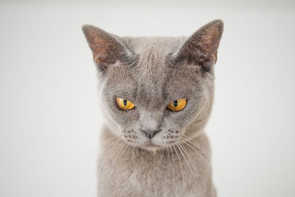 Pisica nervoasa, mustatile in jos